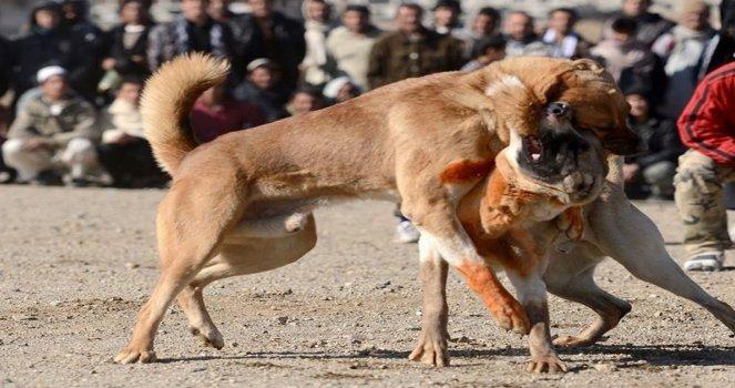 Photo of Diputados Ciudadanos logran que las peleas de perros sean un delito en todo México